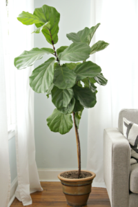 Fiddle leaf fig winter decor style guide